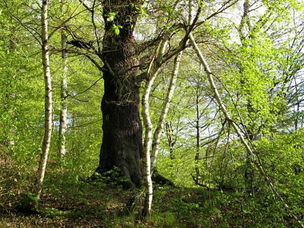 alte Eiche als Naturdenkmal am Beginn der Himmelsleiter