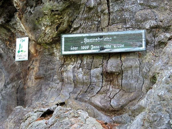 Hunrodeiche - über 1000 Jahre alte Eiche